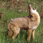 The Coyotes 1